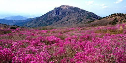 비슬산참꽃문화제