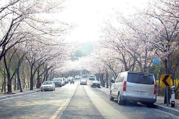 팔공산 벚꽃축제2