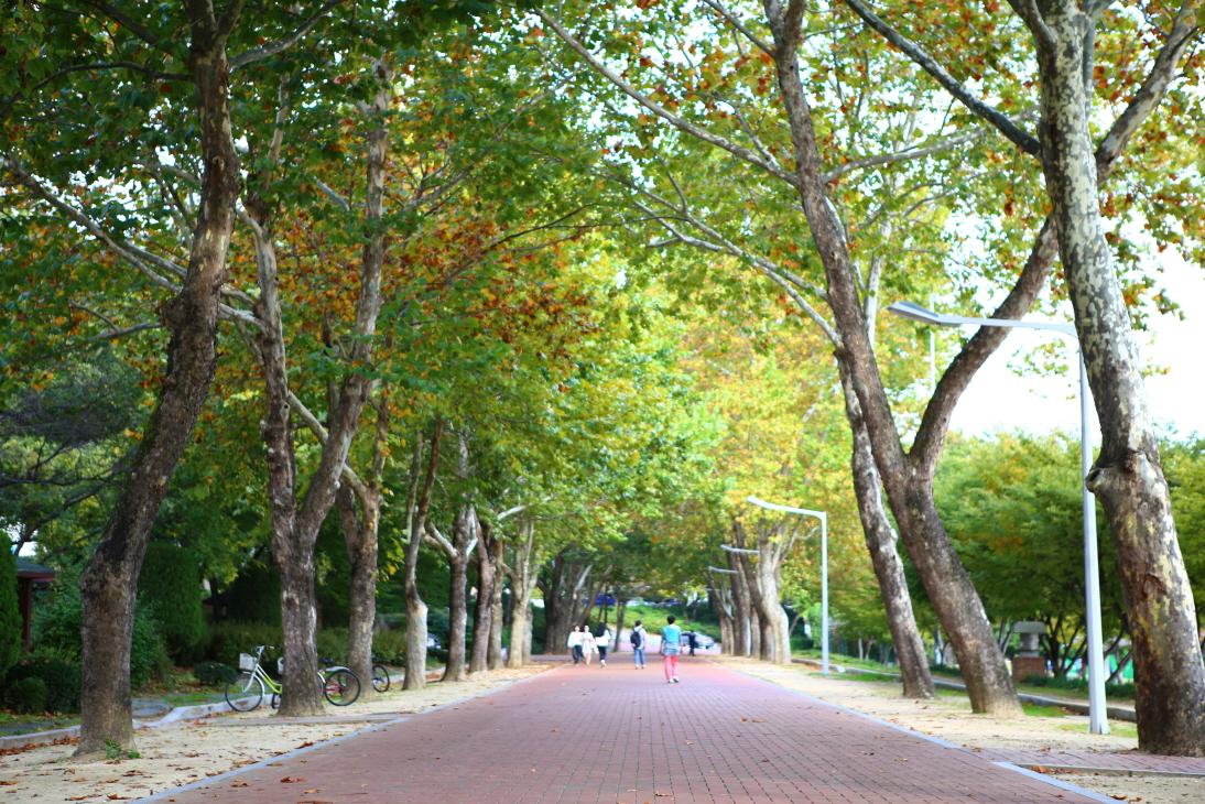 慶北大學林蔭路(白楊路)